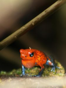 Picture with a red poison dart frog